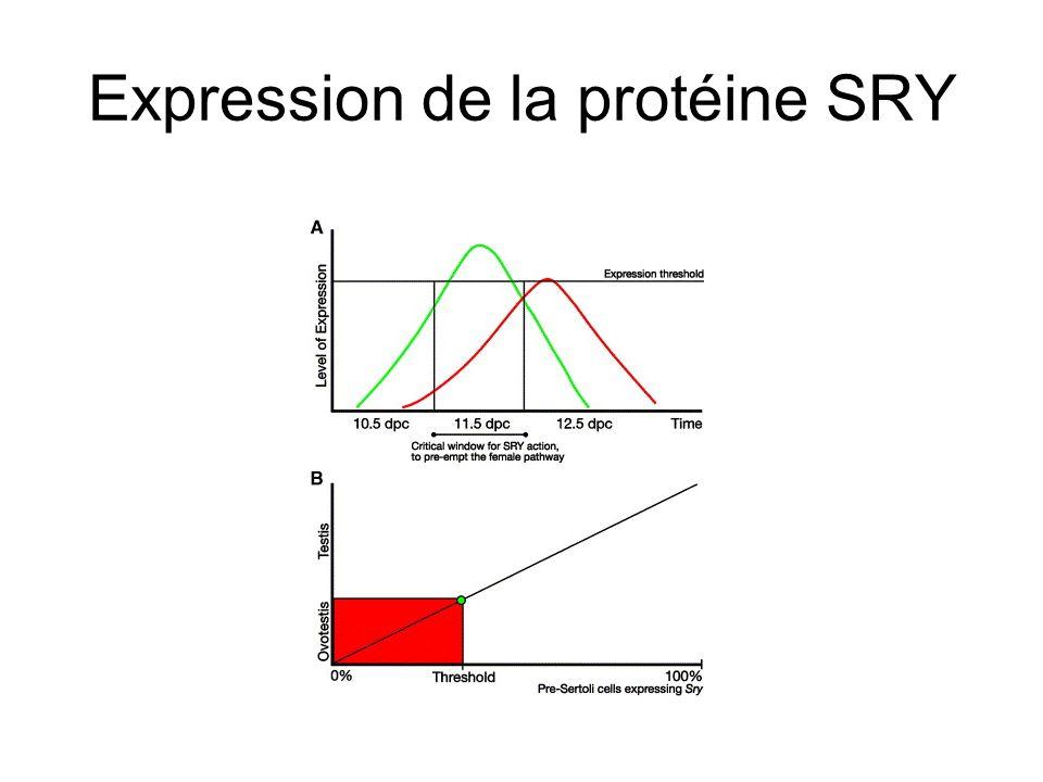 Régulation de lexpression du gène Sry WT1=Wilms Tumour Gene: +/- KTS ( +/- lysine threonine serine dans un des doigts à zinc qui se fixe sur lADN)