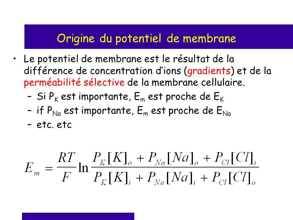 Origine du potentiel de membrane Le potentiel de membrane est le résultat de la différence de concentration dions (gradients) et de la perméabilité sé