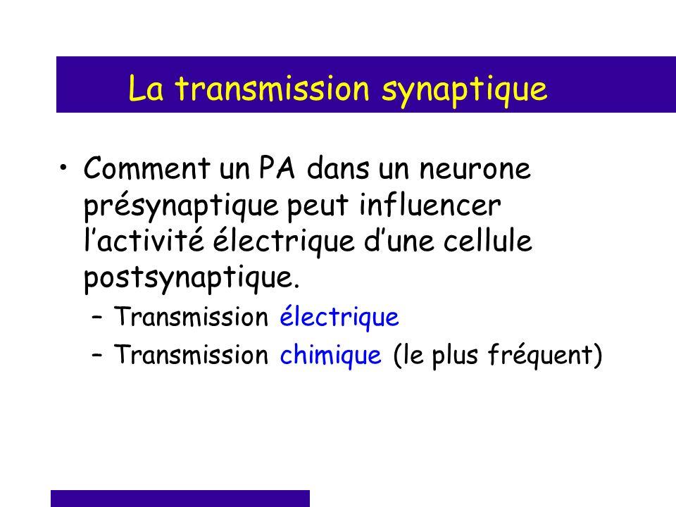La transmission synaptique Comment un PA dans un neurone présynaptique peut influencer lactivité électrique dune cellule postsynaptique. –Transmission