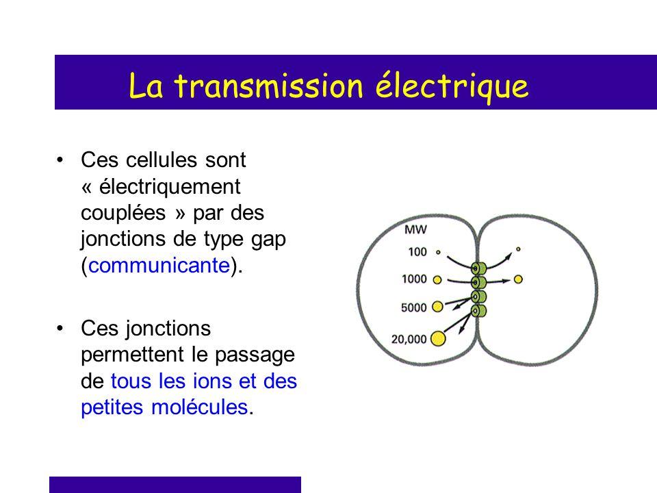 La transmission électrique Ces cellules sont « électriquement couplées » par des jonctions de type gap (communicante). Ces jonctions permettent le pas