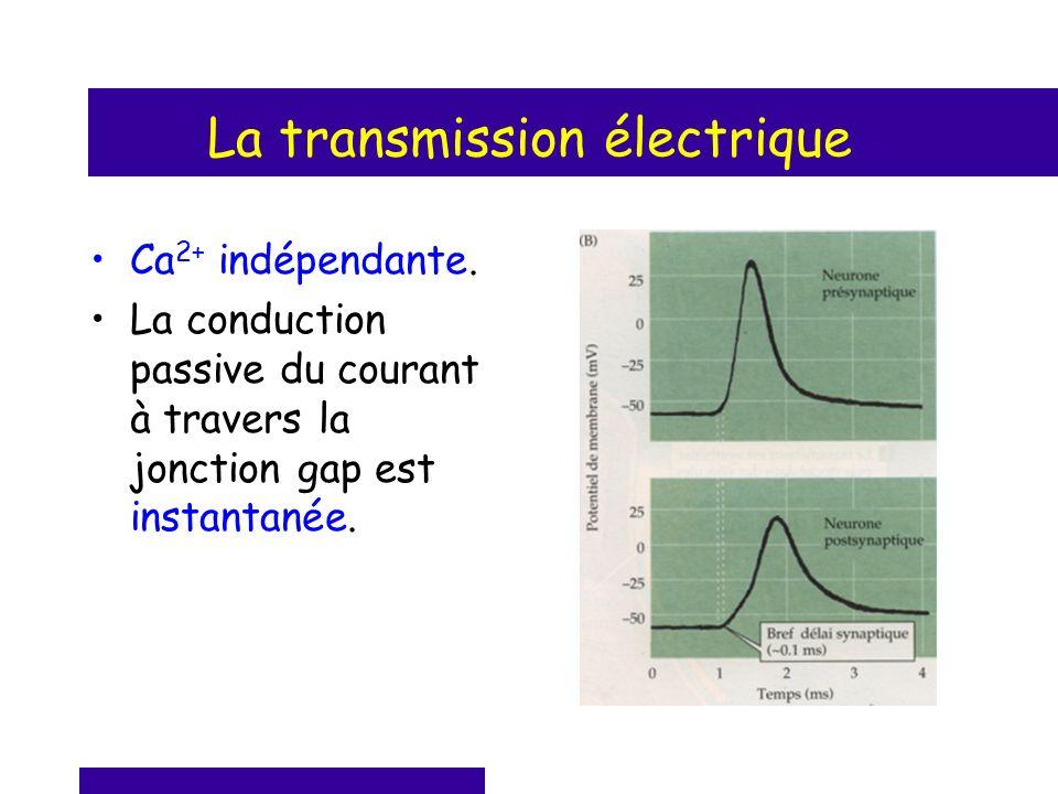 La transmission électrique Ca 2+ indépendante. La conduction passive du courant à travers la jonction gap est instantanée.