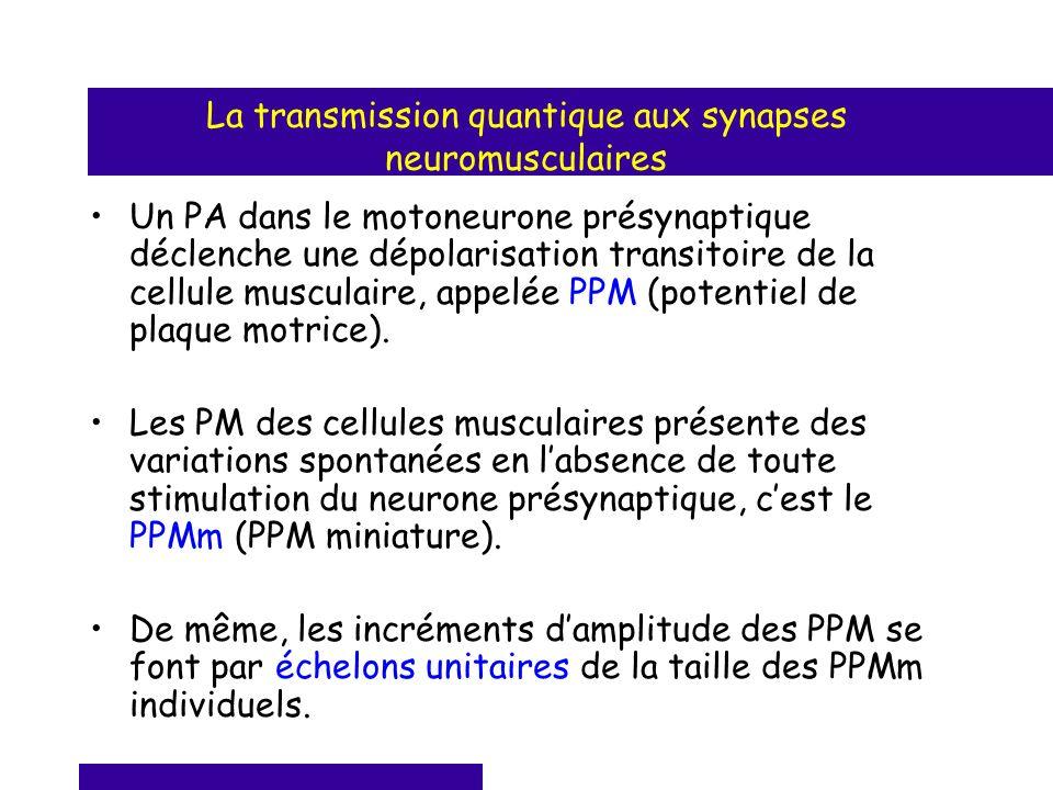 La transmission quantique aux synapses neuromusculaires Un PA dans le motoneurone présynaptique déclenche une dépolarisation transitoire de la cellule