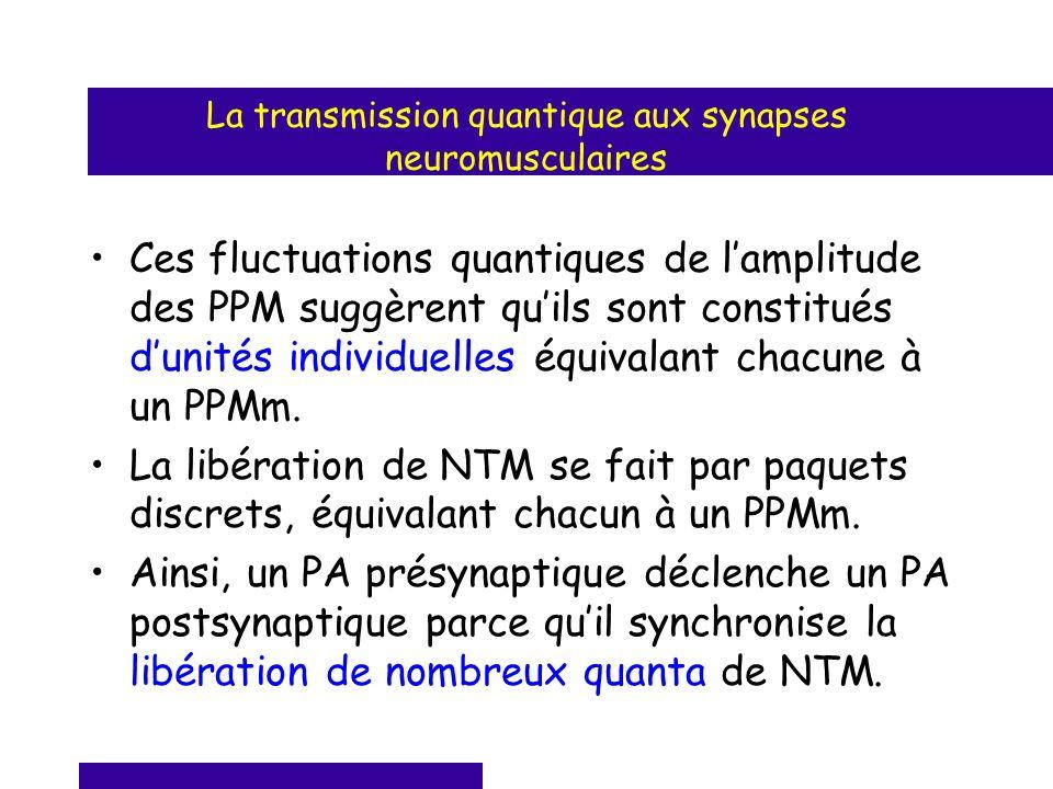 La transmission quantique aux synapses neuromusculaires Ces fluctuations quantiques de lamplitude des PPM suggèrent quils sont constitués dunités indi