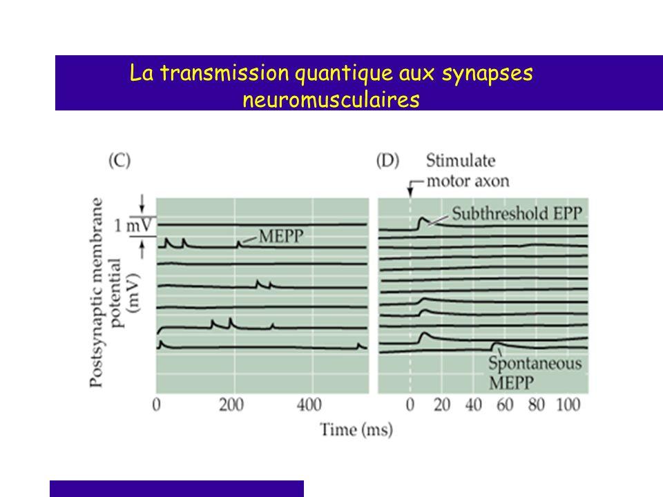 La transmission quantique aux synapses neuromusculaires