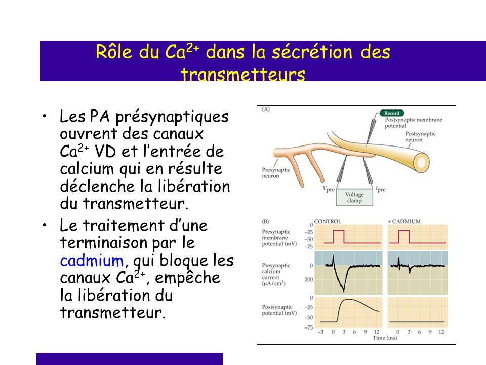 Rôle du Ca 2+ dans la sécrétion des transmetteurs Les PA présynaptiques ouvrent des canaux Ca 2+ VD et lentrée de calcium qui en résulte déclenche la