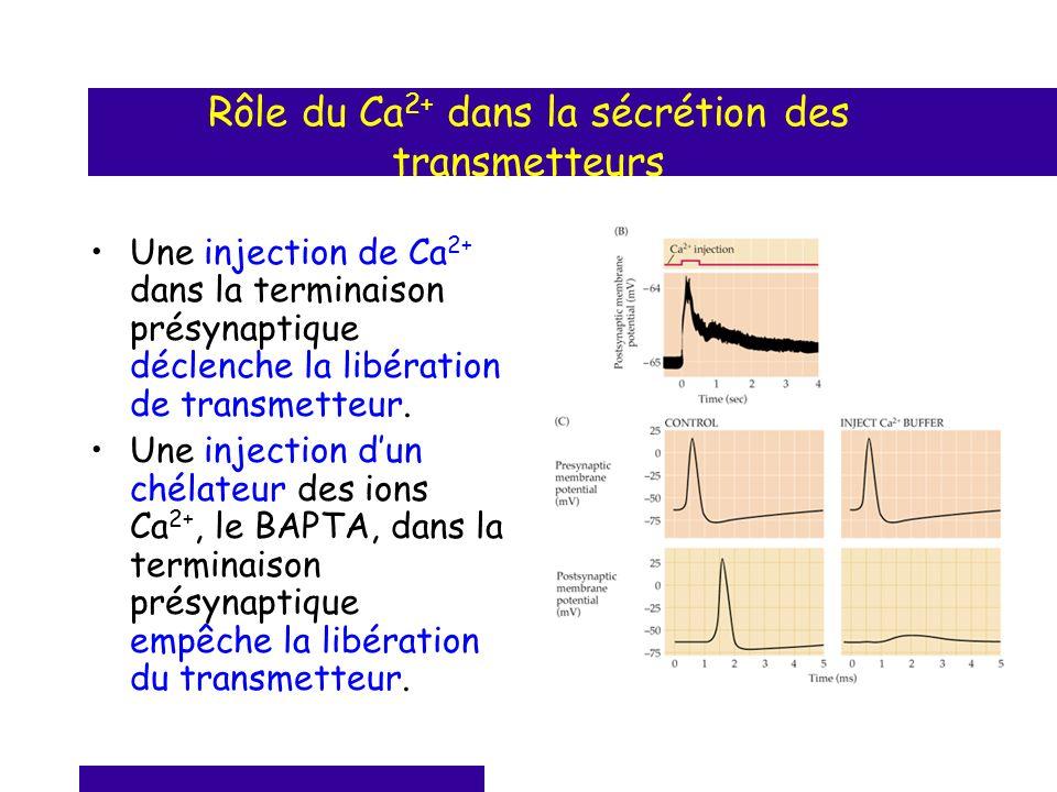 Rôle du Ca 2+ dans la sécrétion des transmetteurs Une injection de Ca 2+ dans la terminaison présynaptique déclenche la libération de transmetteur. Un