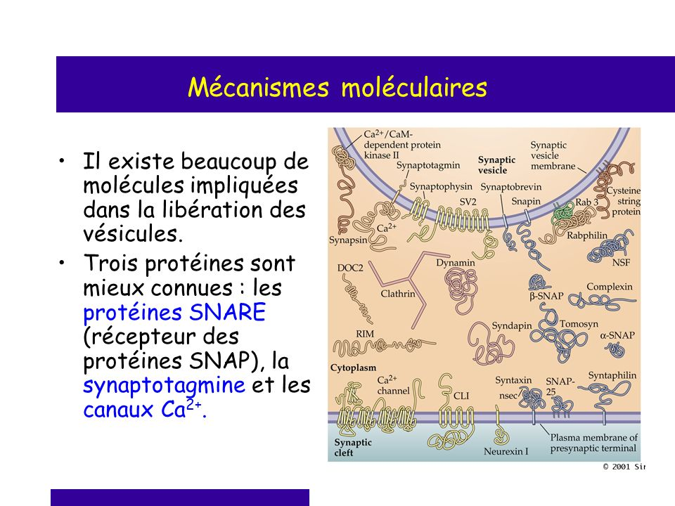 Mécanismes moléculaires Il existe beaucoup de molécules impliquées dans la libération des vésicules. Trois protéines sont mieux connues : les protéine