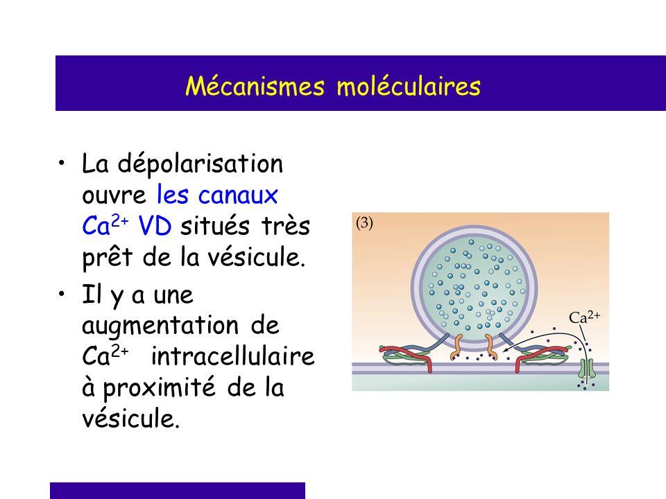 Mécanismes moléculaires La dépolarisation ouvre les canaux Ca 2+ VD situés très prêt de la vésicule. Il y a une augmentation de Ca 2+ intracellulaire