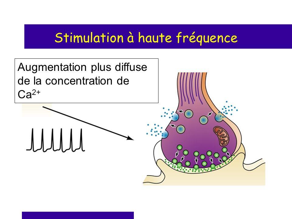 Stimulation à haute fréquence Augmentation plus diffuse de la concentration de Ca 2+