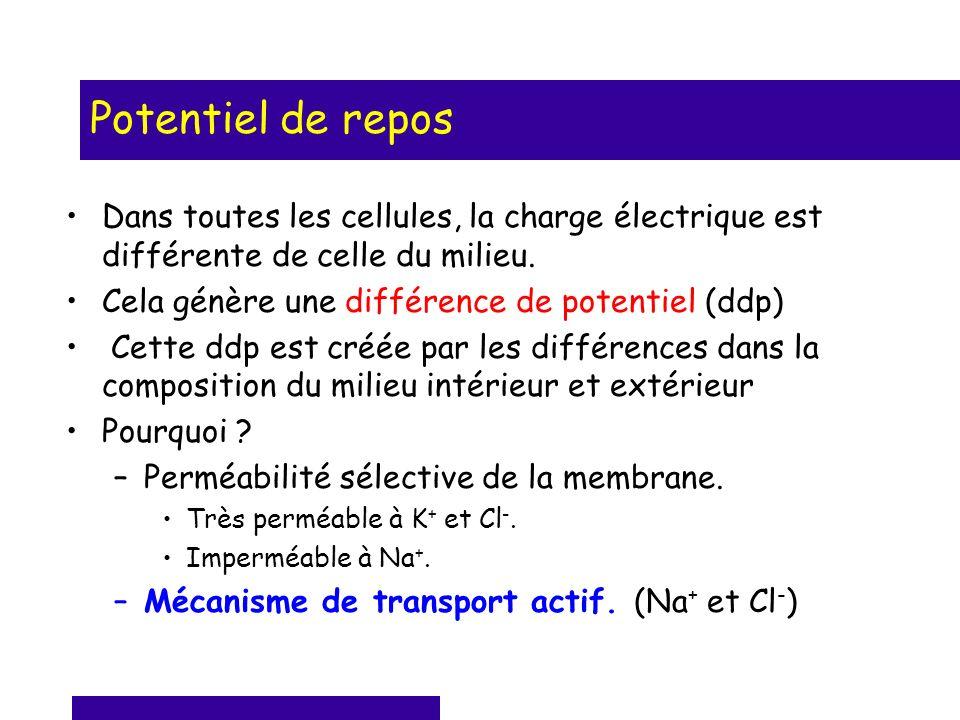 Potentiel de repos Dans toutes les cellules, la charge électrique est différente de celle du milieu. Cela génère une différence de potentiel (ddp) Cet
