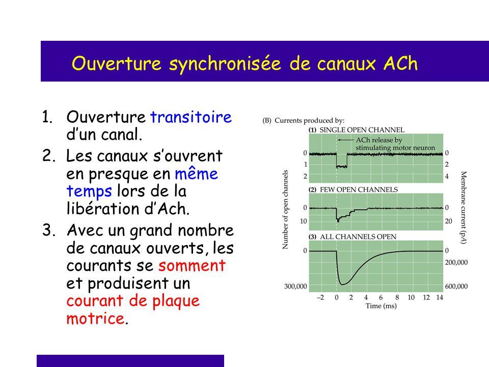 Ouverture synchronisée de canaux ACh 1.Ouverture transitoire dun canal. 2.Les canaux souvrent en presque en même temps lors de la libération dAch. 3.A