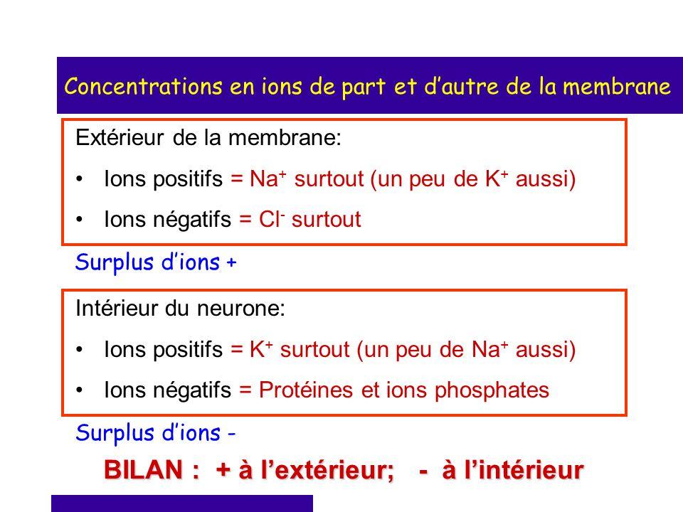 Concentrations en ions de part et dautre de la membrane Extérieur de la membrane: Ions positifs = Na + surtout (un peu de K + aussi) Ions négatifs = C