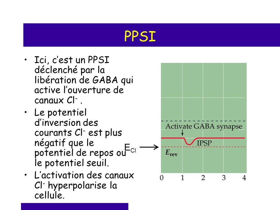 PPSI Ici, cest un PPSI déclenché par la libération de GABA qui active louverture de canaux Cl -. Le potentiel dinversion des courants Cl - est plus né