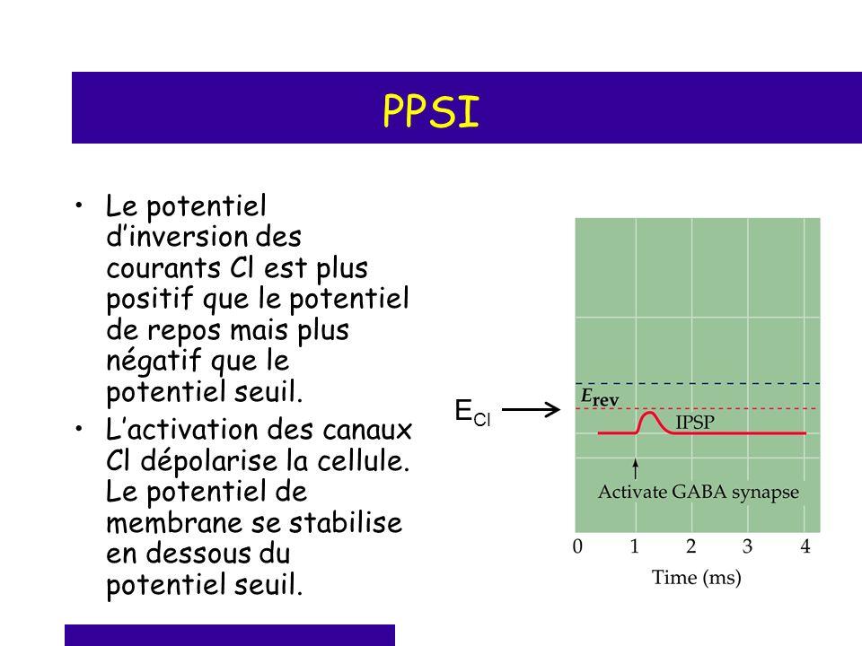 PPSI Le potentiel dinversion des courants Cl est plus positif que le potentiel de repos mais plus négatif que le potentiel seuil. Lactivation des cana