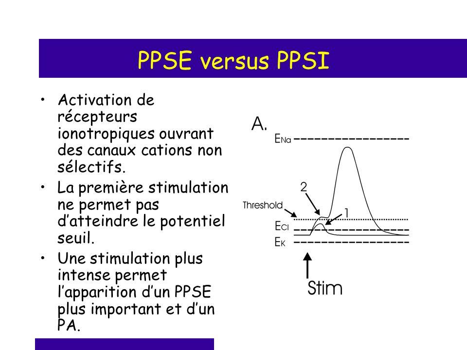 PPSE versus PPSI Activation de récepteurs ionotropiques ouvrant des canaux cations non sélectifs. La première stimulation ne permet pas datteindre le