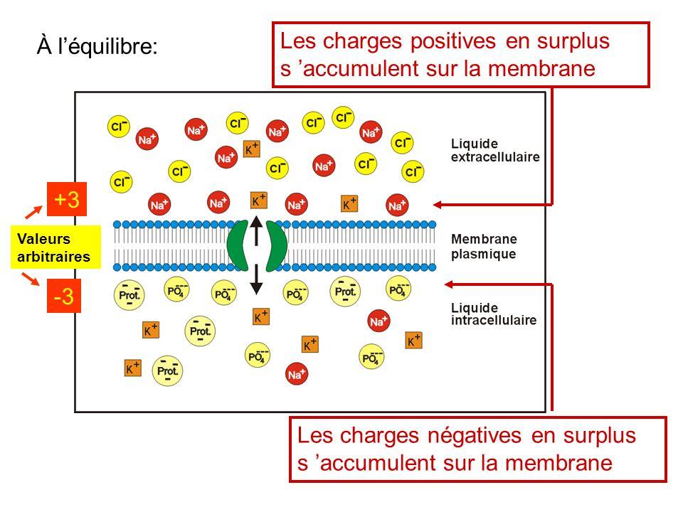 Les charges positives en surplus s accumulent sur la membrane Les charges négatives en surplus s accumulent sur la membrane +3 -3 Valeurs arbitraires
