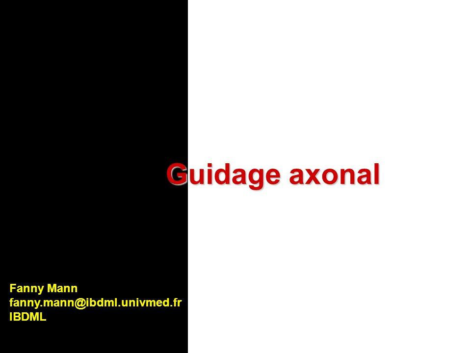 Nétrine-1 +/+ Nétrine-1 -/- Plaque du plancher Hypothèse: la plaque du plancher est la source dau moins un signal chimio-attractant supplémentaire Nétrine-1 Chez les souris déficientes pour Nétrine-1, une petite proportion daxones commissuraux parviennent à atteindre et traverser la ligne médiane ventrale Guidage des axones commissuraux: effet de nétrine-1 in vivo