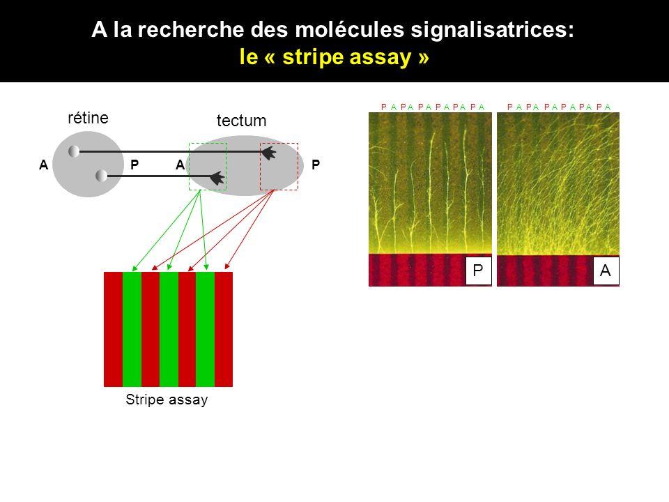 A la recherche des molécules signalisatrices: le « stripe assay » N Rétine APAP P A AAAAAAPPPPPP AAAAAAPPPPPP Stripe assay rétine tectum