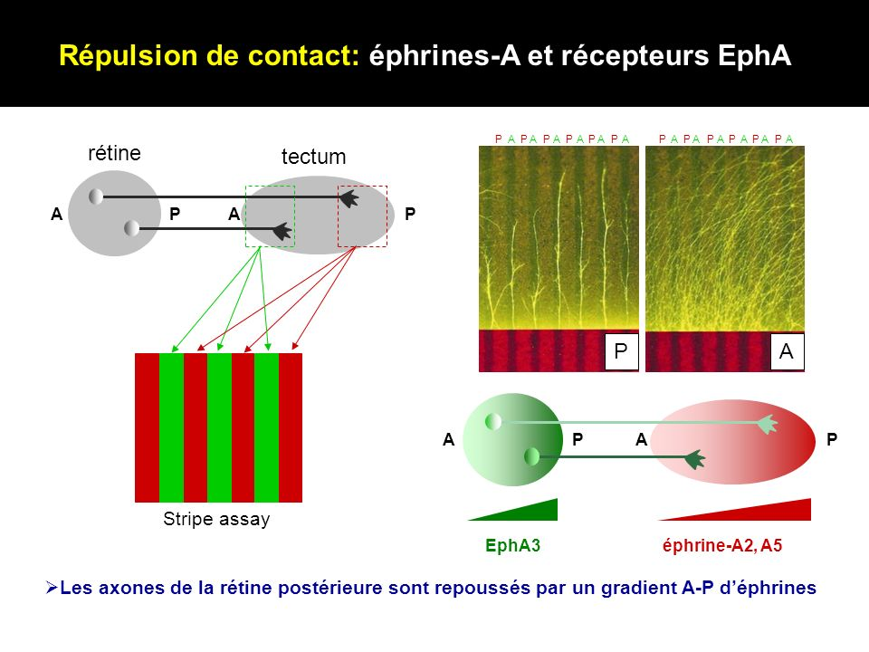 APAP EphA3éphrine-A2, A5 Répulsion de contact: éphrines-A et récepteurs EphA N Rétine APAP P A AAAAAAPPPPPP AAAAAAPPPPPP Stripe assay rétine tectum Le