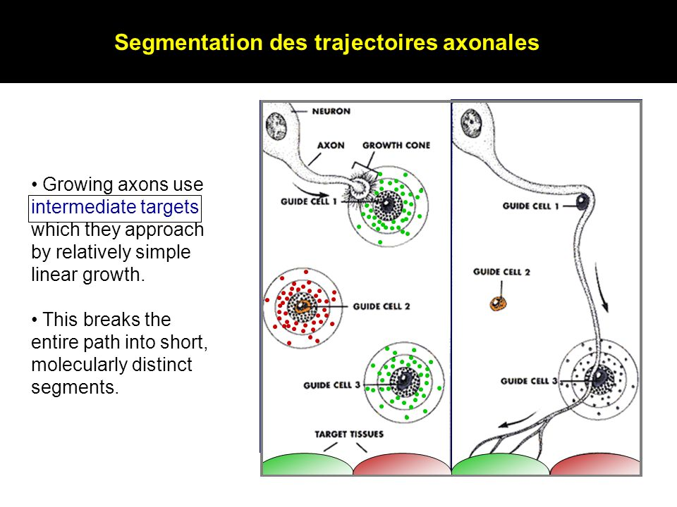 Growing axons use intermediate targets which they approach by relatively simple linear growth. This breaks the entire path into short, molecularly dis