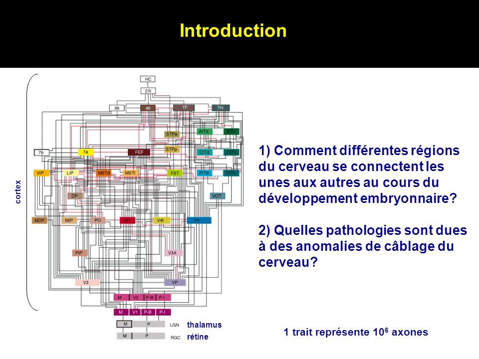 Introduction rétine thalamus cortex 1 trait représente 10 6 axones 1) Comment différentes régions du cerveau se connectent les unes aux autres au cour
