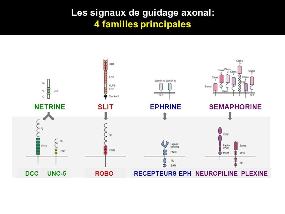 NETRINESLITEPHRINESEMAPHORINE DCCUNC-5 ROBORECEPTEURS EPHNEUROPILINEPLEXINE Les signaux de guidage axonal: 4 familles principales