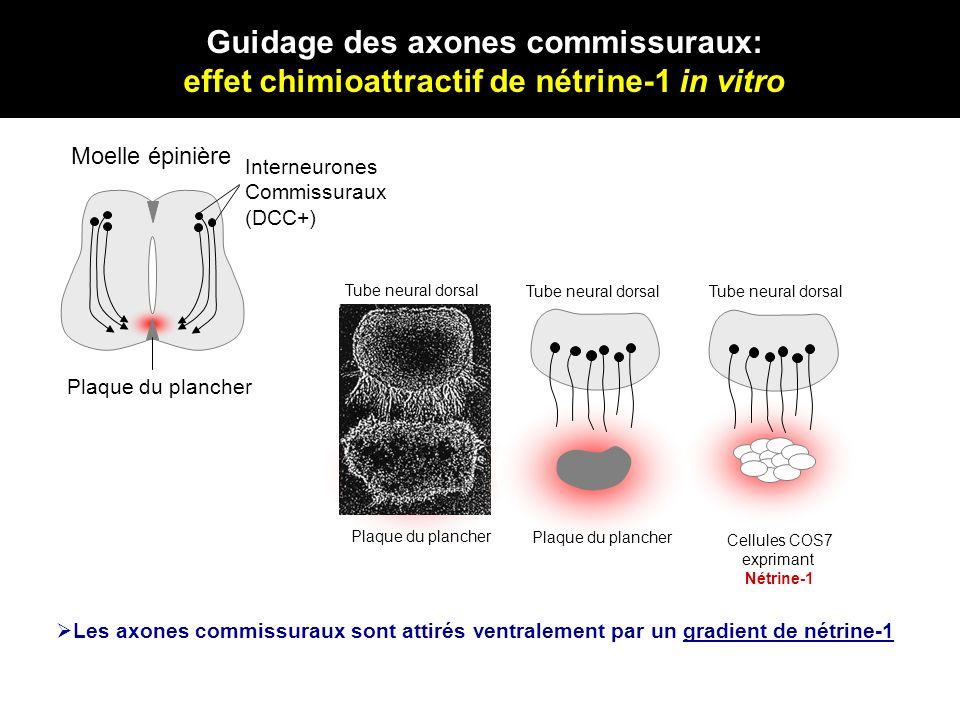Interneurones Commissuraux (DCC+) Plaque du plancher Tube neural dorsal Les axones commissuraux sont attirés ventralement par un gradient de nétrine-1