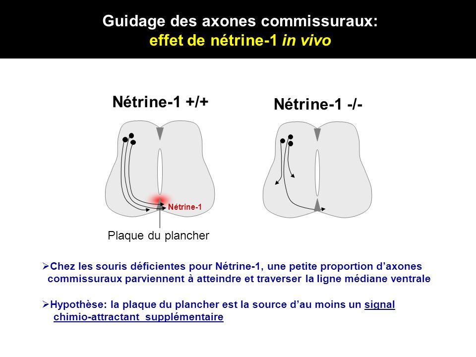 Nétrine-1 +/+ Nétrine-1 -/- Plaque du plancher Hypothèse: la plaque du plancher est la source dau moins un signal chimio-attractant supplémentaire Nét