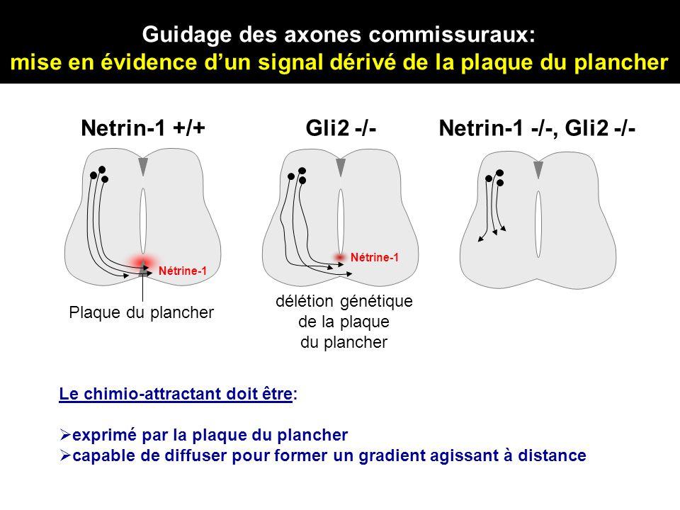 Netrin-1 +/+ Plaque du plancher Nétrine-1 Le chimio-attractant doit être: exprimé par la plaque du plancher capable de diffuser pour former un gradien