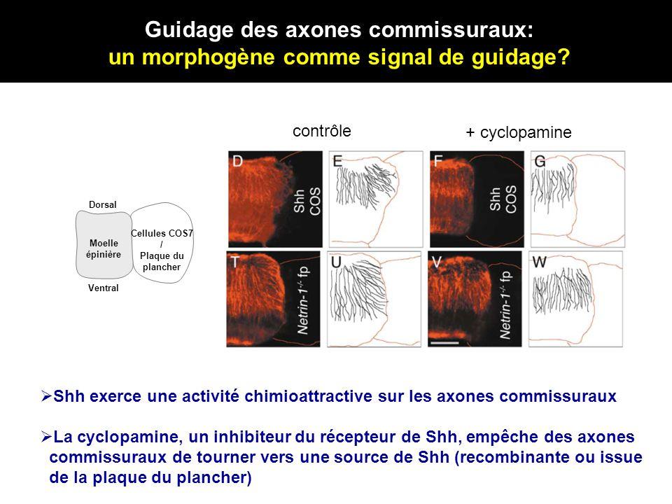 contrôle + cyclopamine Cellules COS7 / Plaque du plancher Moelle épinière Dorsal Ventral Shh exerce une activité chimioattractive sur les axones commi