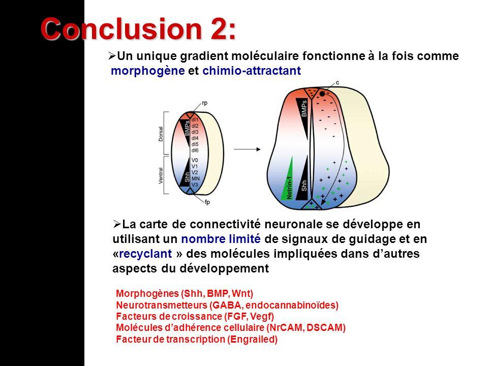 Un unique gradient moléculaire fonctionne à la fois comme morphogène et chimio-attractant Conclusion 2: La carte de connectivité neuronale se développ