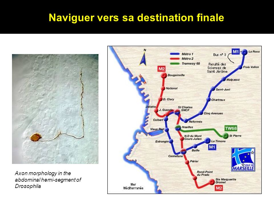 Naviguer vers sa destination finale Axon morphology in the abdominal hemi-segment of Drosophila