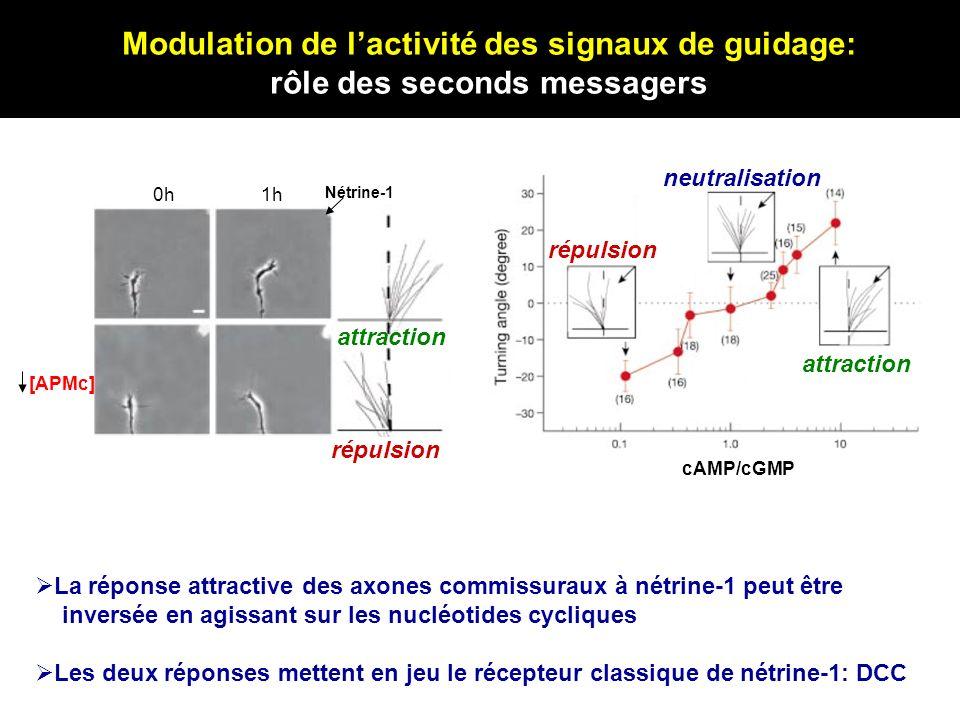 Modulation de lactivité des signaux de guidage: rôle des seconds messagers Neutralisation [GPMc] 0h1h Nétrine-1 attraction [APMc] La réponse attractiv