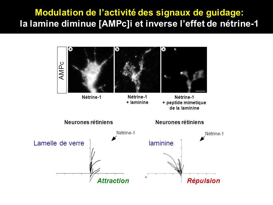 AMPc Nétrine-1 + laminine Nétrine-1 + peptide mimetique de la laminine Nétrine-1 Lamelle de verrelaminine AttractionRépulsion Neurones rétiniens Modul