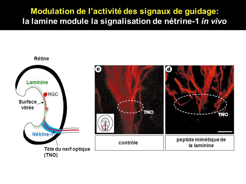 contrôle peptide mimétique de la laminine Tête du nerf optique (TNO) Surface vitrée Laminine Nétrine-1 Rétine TNO Modulation de lactivité des signaux