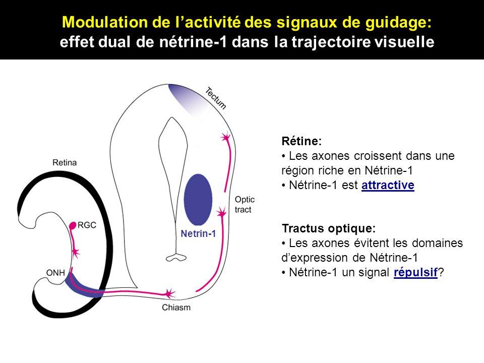Netrin-1 Rétine: Les axones croissent dans une région riche en Nétrine-1 Nétrine-1 est attractive Tractus optique: Les axones évitent les domaines dex