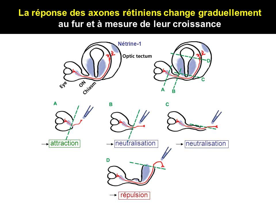 attractionneutralisation répulsion La réponse des axones rétiniens change graduellement au fur et à mesure de leur croissance neutralisation Nétrine-1