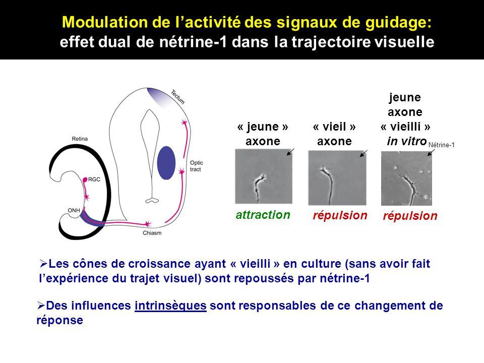 « jeune » axone « vieil » axone attraction répulsion jeune axone « vieilli » in vitro Nétrine-1 répulsion Les cônes de croissance ayant « vieilli » en