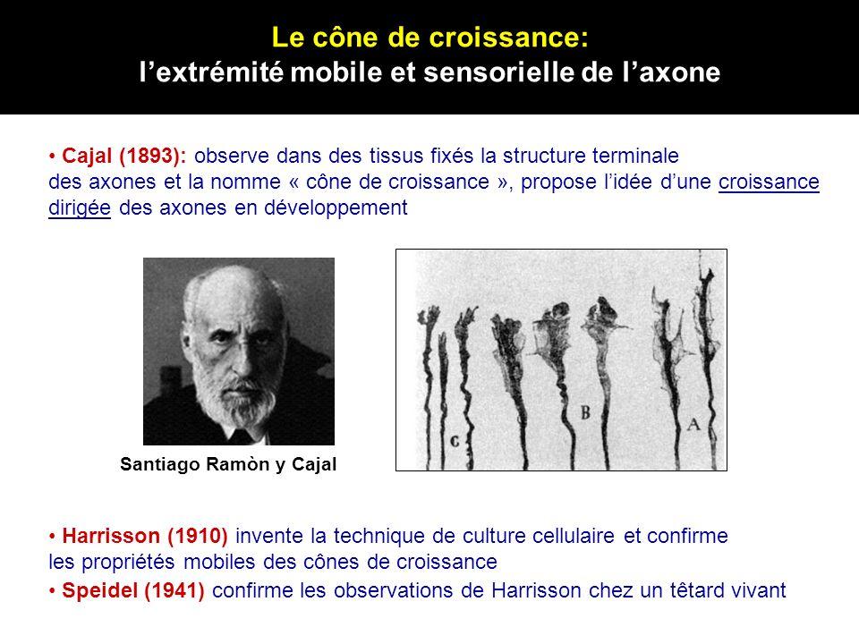 Le cône de croissance: lextrémité mobile et sensorielle de laxone Santiago Ramòn y Cajal Cajal (1893): observe dans des tissus fixés la structure term