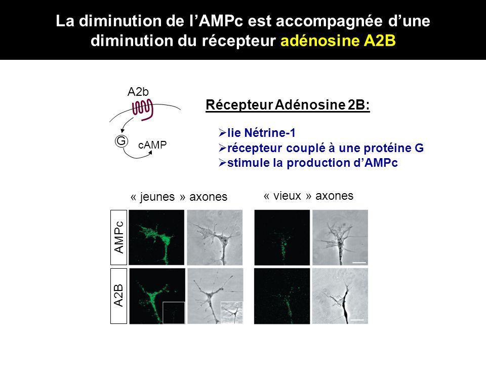 A2b G cAMP « jeunes » axones « vieux » axones A2B Récepteur Adénosine 2B: lie Nétrine-1 récepteur couplé à une protéine G stimule la production dAMPc