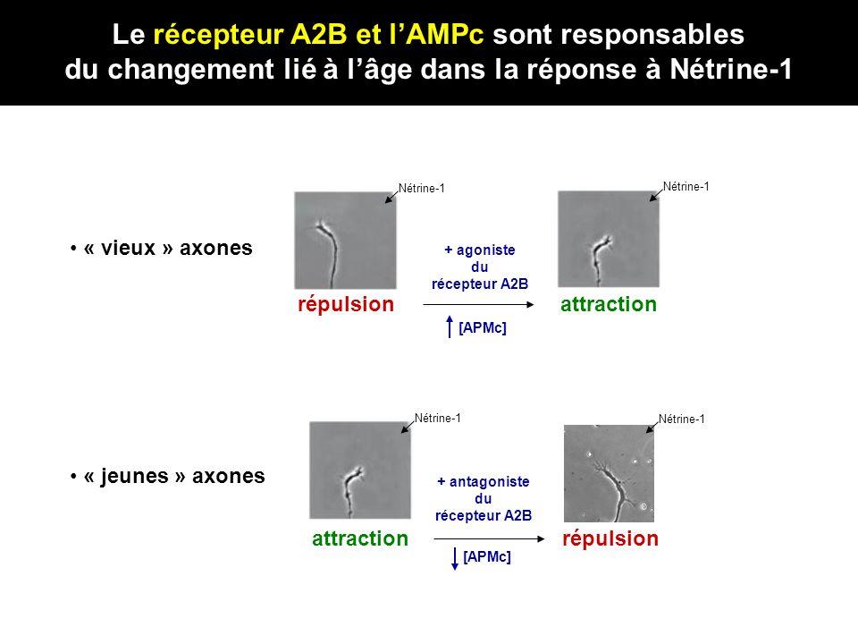 « vieux » axones attraction Nétrine-1 répulsion Nétrine-1 + agoniste du récepteur A2B « jeunes » axones attraction Nétrine-1 répulsion + antagoniste d