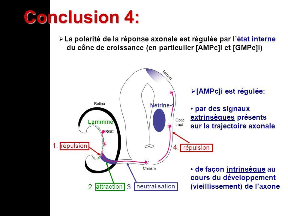 Laminine répulsion attraction neutralisation répulsion 1. 4. 2. 3. Nétrine-1 [AMPc]i est régulée: par des signaux extrinsèques présents sur la traject