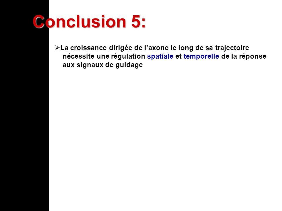 Conclusion 5: La croissance dirigée de laxone le long de sa trajectoire nécessite une régulation spatiale et temporelle de la réponse aux signaux de g