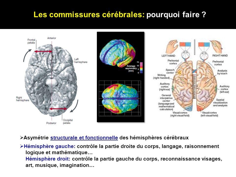 Les commissures cérébrales: pourquoi faire ? Sylvian fis. Asymétrie structurale et fonctionnelle des hémisphères cérébraux Hémisphère gauche: contrôle