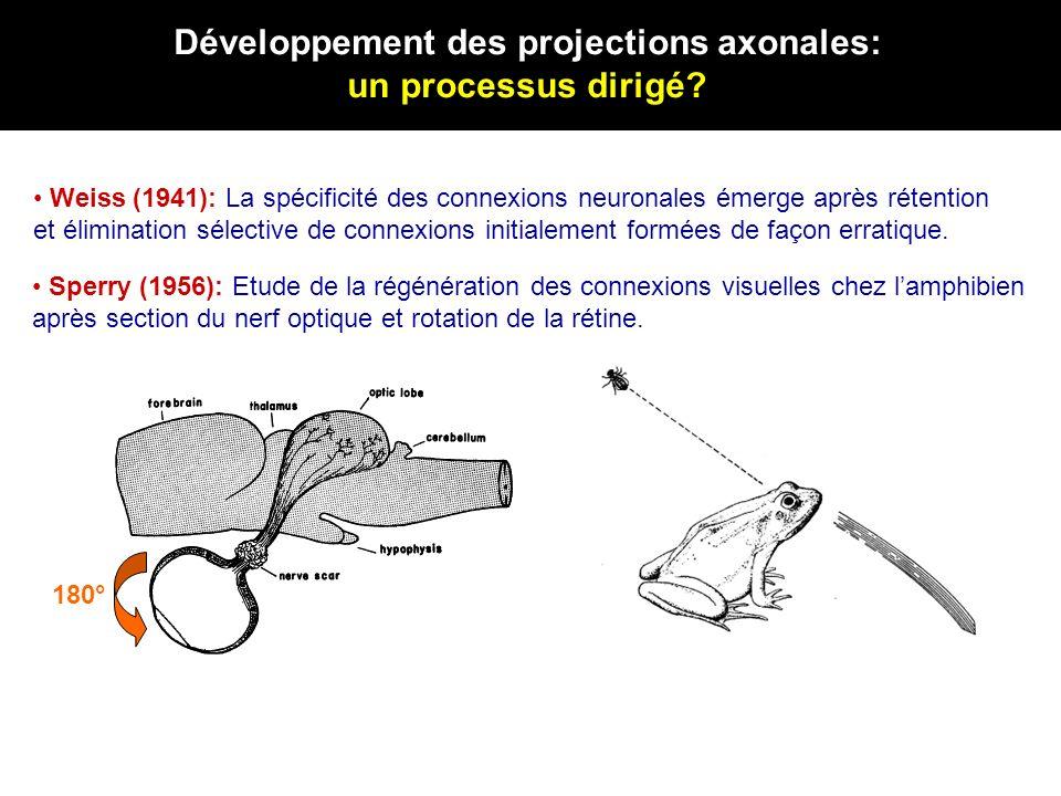 « jeune » axone « vieil » axone attraction répulsion jeune axone « vieilli » in vitro Nétrine-1 répulsion Les cônes de croissance ayant « vieilli » en culture (sans avoir fait lexpérience du trajet visuel) sont repoussés par nétrine-1 Modulation de lactivité des signaux de guidage: effet dual de nétrine-1 dans la trajectoire visuelle Des influences intrinsèques sont responsables de ce changement de réponse