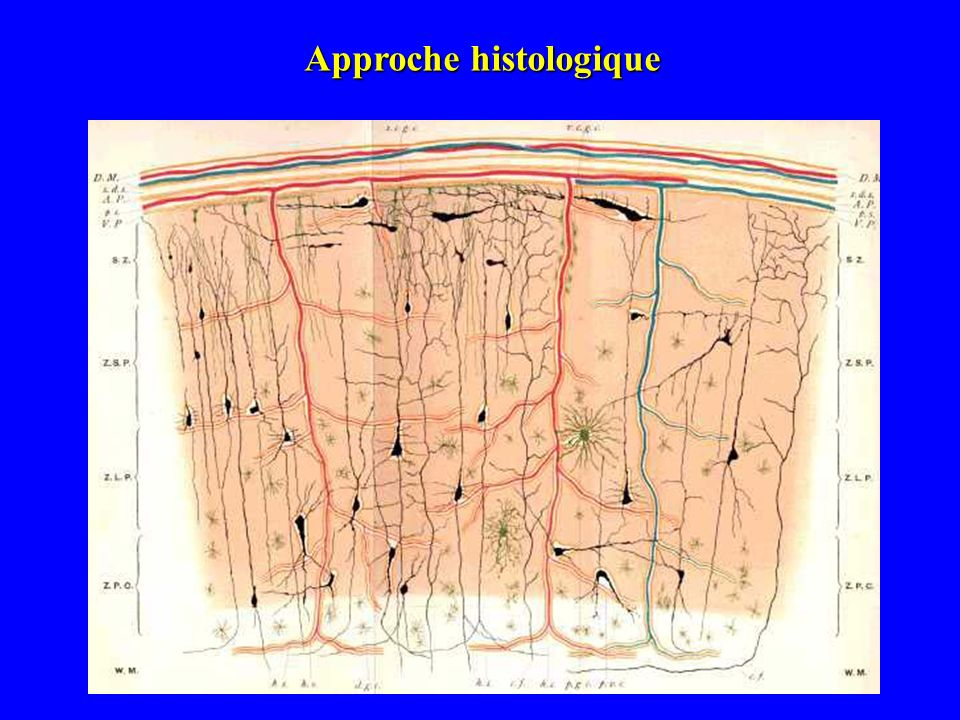 CC 1 2 4 6 5 3 Cortex visuel Cortex auditif Limites de lhistologie corticale Couches corticales misent en évidence par la coloration de Nissl.