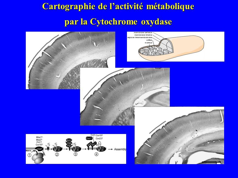 Exemple : cartographie du cortex somatosensoriel structures « en tonneau » Le « ratonculus » Implantation des vibrisses