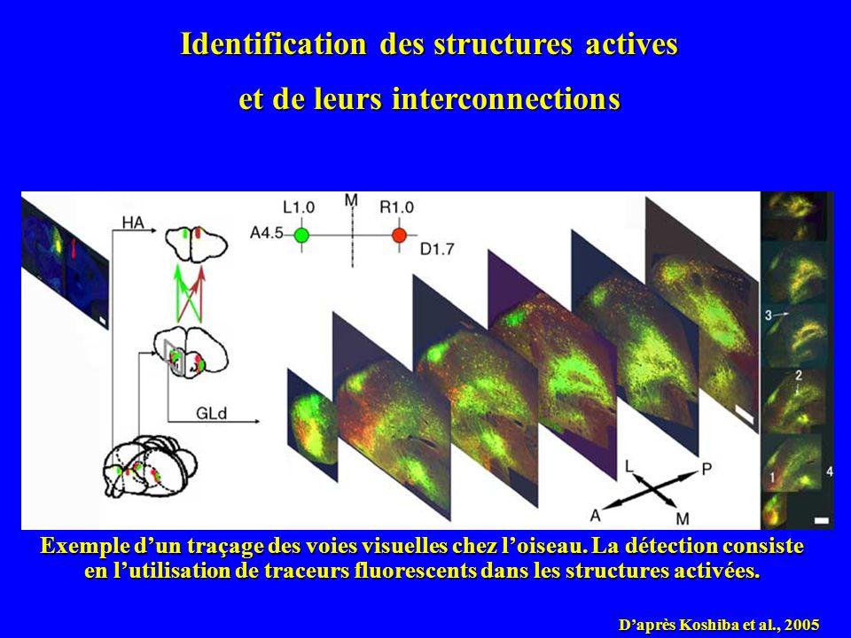 Daprès Koshiba et al., 2005 Identification des structures actives et de leurs interconnections Exemple dun traçage des voies visuelles chez loiseau. L
