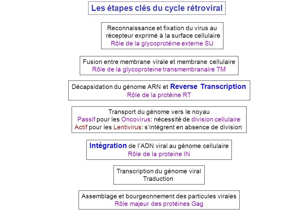 Reconnaissance et fixation du virus au récepteur exprimé à la surface cellulaire Rôle de la glycoprotéine externe SU Fusion entre membrane virale et m