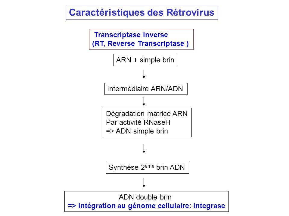 Transcriptase Inverse (RT, Reverse Transcriptase ) ARN + simple brin Intermédiaire ARN/ADN Dégradation matrice ARN Par activité RNaseH => ADN simple b